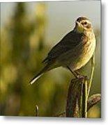 Palm Warbler, Everglades National Park Metal Print