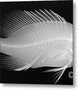 Panther Grouper X-ray Metal Print
