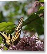 Papilio Glaucus   Eastern Tiger Swallowtail  Metal Print
