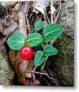Partridge Berry Berry - Mitchella Repens Metal Print