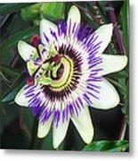Passion Flower (passiflora Sp.) Metal Print by Kaj R. Svensson