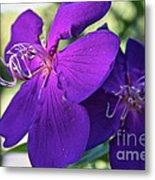 Passion Purple Metal Print