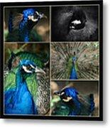 Pavo Cristatus IIi The Heart Of Solitude  - Indian Blue Peacock  Metal Print