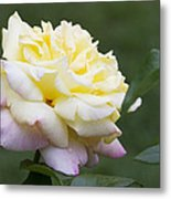 Peace Rose Metal Print