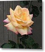 Peace Rose Metal Print