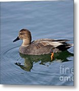 Peaceful Reflection- Female Gadwall Duck Swimming At The Pond Metal Print