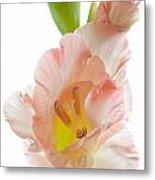 Peach Flushed Gladiolus Metal Print