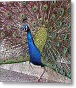 Peacock - 0013 Metal Print