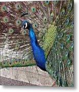 Peacock - 0014 Metal Print