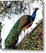 Peacock Calling Metal Print