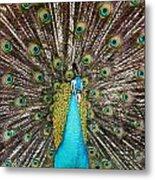 Peacock Plumage Feathers Metal Print