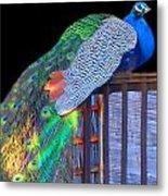Peacock Poses Metal Print