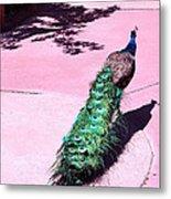 Peacock Walk Metal Print
