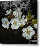 Pear Blooms Metal Print