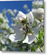 Pear In Bloom Metal Print