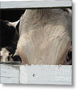 Peek-a-boo Cow Metal Print