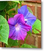 Peek-a-boo Morning Glories Metal Print
