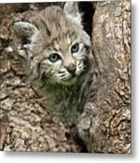 Peeking Out - Bobcat Kitten Metal Print