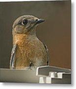 Peeping Bluebird Metal Print