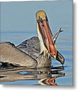 Pelican With Catch Metal Print