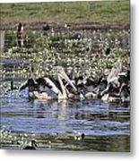Pelicans At Knuckey Lagoon Metal Print