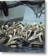 Pelicans Float In Water Near A Shrimp Metal Print