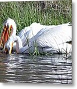 Pelicans Working The Shallows Metal Print