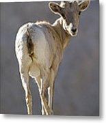 Peninsular Bighorn Sheep Ovis Metal Print