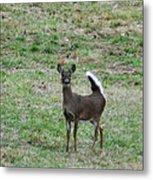 Pennsylvania White Tail Deer Metal Print