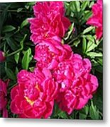 Peony Named Karl Rosenfield Metal Print