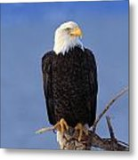 Perched Bald Eagle Metal Print