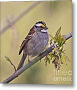 Perched White-throated Sparrow Metal Print by Chris Hill