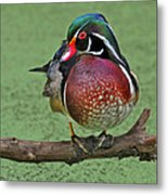 Perched Wood Duck Metal Print