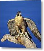 Peregrine Falcon On Perch Metal Print