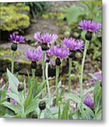 Perennial Cornflowers 'parham' Metal Print