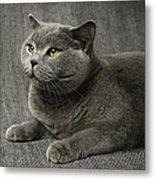 Pet Portrait Of British Shorthair Cat Metal Print by Nancy Branston