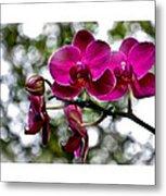 Phalaenopsis Metal Print