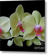 Phalaenopsis Fuller's Sunset Orchid No 1 Metal Print