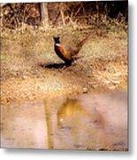 Pheasant Stroll Metal Print