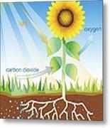Photosynthesis, Illustration Metal Print by David Nicholls