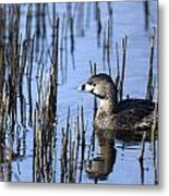 Pied-billed Grebe, Montreal Botanical Metal Print