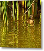 Pied-billed Grebe Near The Reeds Metal Print