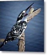 Pied Kingfisher Eating Metal Print