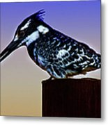 Pied Kingfisher Metal Print