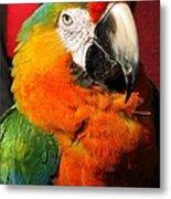 Pietro The Parrot Metal Print