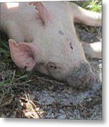 Pig In A Pen 4 Metal Print by Cathy Lindsey