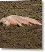 Pig In Mud Metal Print