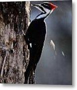 Pileated Woodpecker Dryocopus Pileatus Metal Print