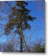 Pine Tree Standing Tall Metal Print