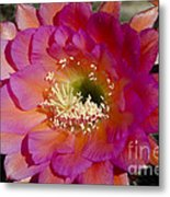 Pink And Orange Cactus Flower Metal Print